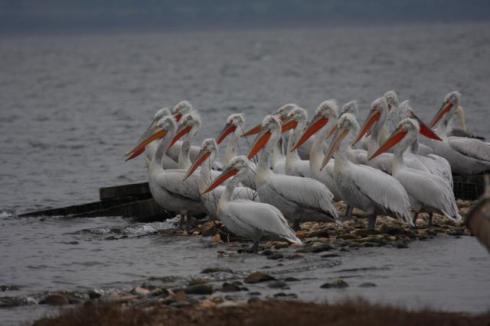 Αργυροπελεκάνοι-Pelecanus-crispus-στη-Λίμνη-Βόλβη-Ιανουάριος-2011_MG_9187-1